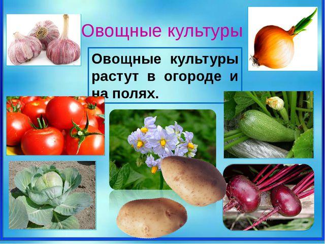Овощные культуры растут в огороде и на полях. Овощные культуры