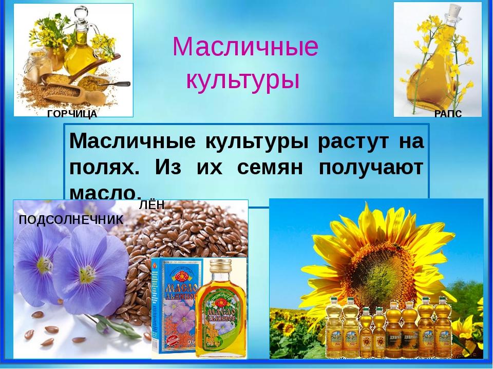 ГОРЧИЦА РАПС Масличные культуры растут на полях. Из их семян получают масло....