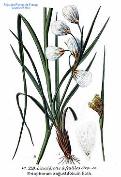 http://upload.wikimedia.org/wikipedia/commons/thumb/c/c9/359_Eriophorum_angustifolium_Roth.jpg/250px-359_Eriophorum_angustifolium_Roth.jpg