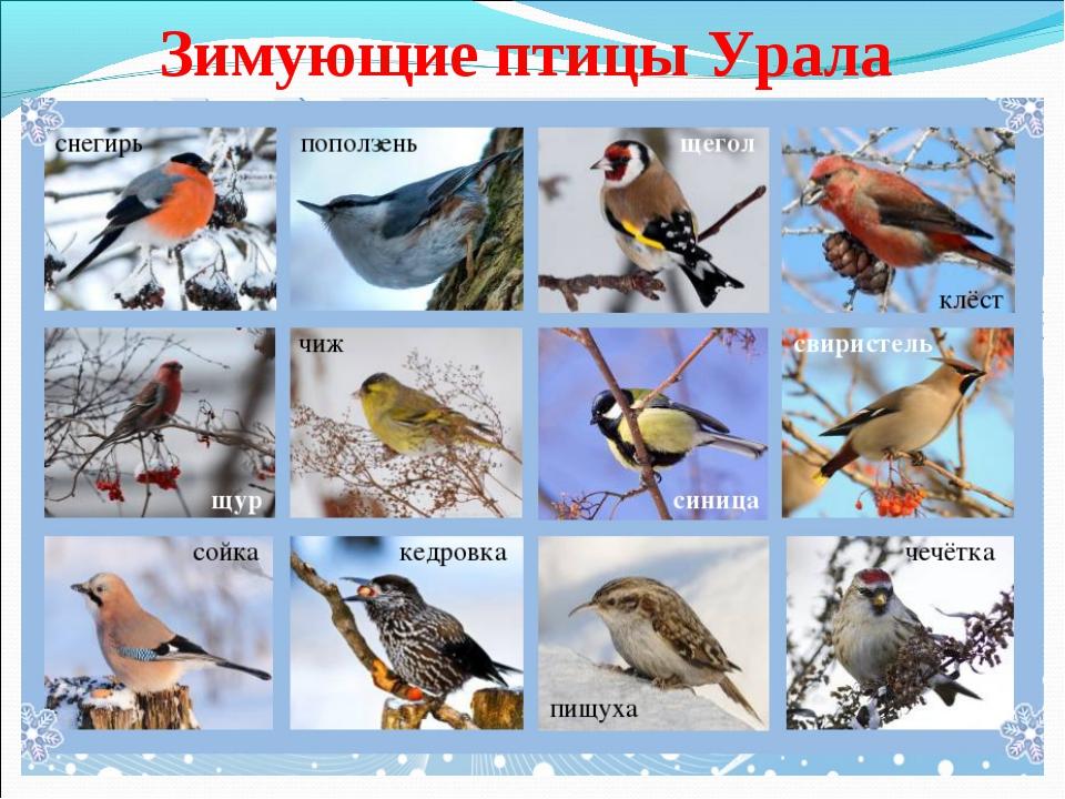 Зимующие птицы Урала