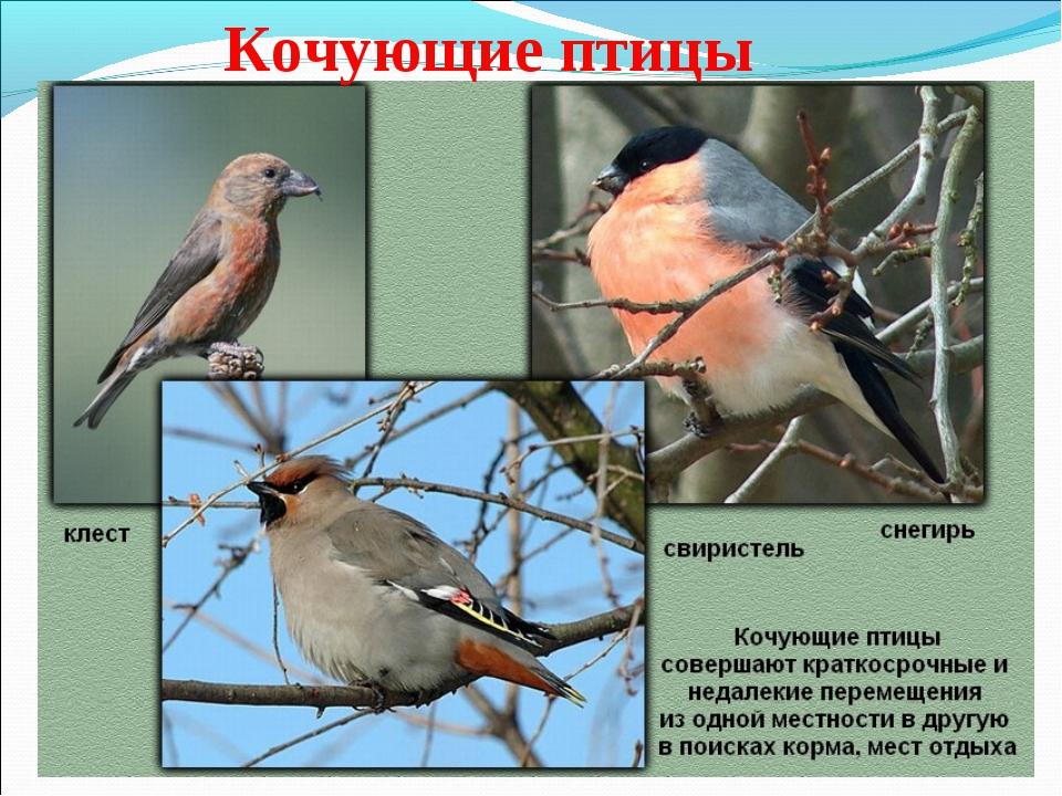 Кочующие птицы