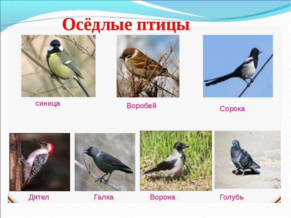 Осёдлые птицы