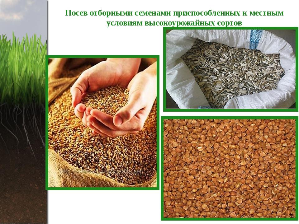 Посев отборными семенами приспособленных к местным условиям высокоурожайных с...