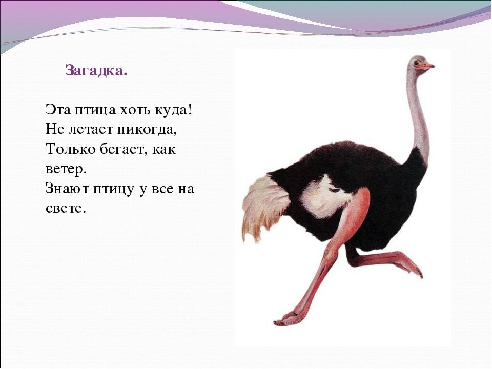 Загадка. Эта птица хоть куда! Не летает никогда, Только бегает, как ветер. Зн...