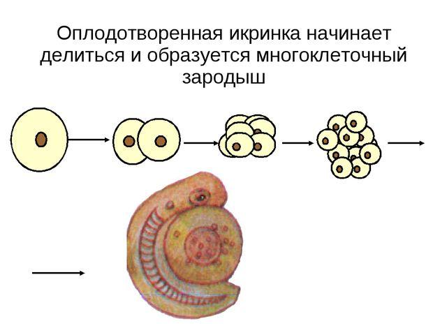 Оплодотворенная икринка начинает делиться и образуется многоклеточный зародыш