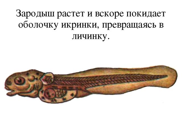 Зародыш растет и вскоре покидает оболочку икринки, превращаясь в личинку.