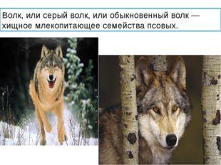 Волк, или серый волк, или обыкновенный волк — хищное млекопитающее семейства