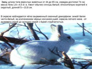 Заяц: длина тела взрослых животных от 44 до 65 см, изредка достигая 74 см; м