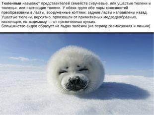 Тюленями называют представителей семейств сивучевые, или ушастые тюлени и тюл