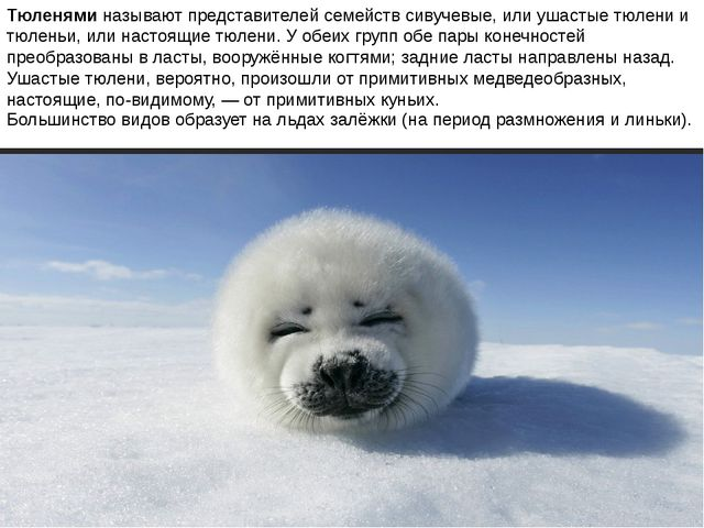 Тюленями называют представителей семейств сивучевые, или ушастые тюлени и тюл...