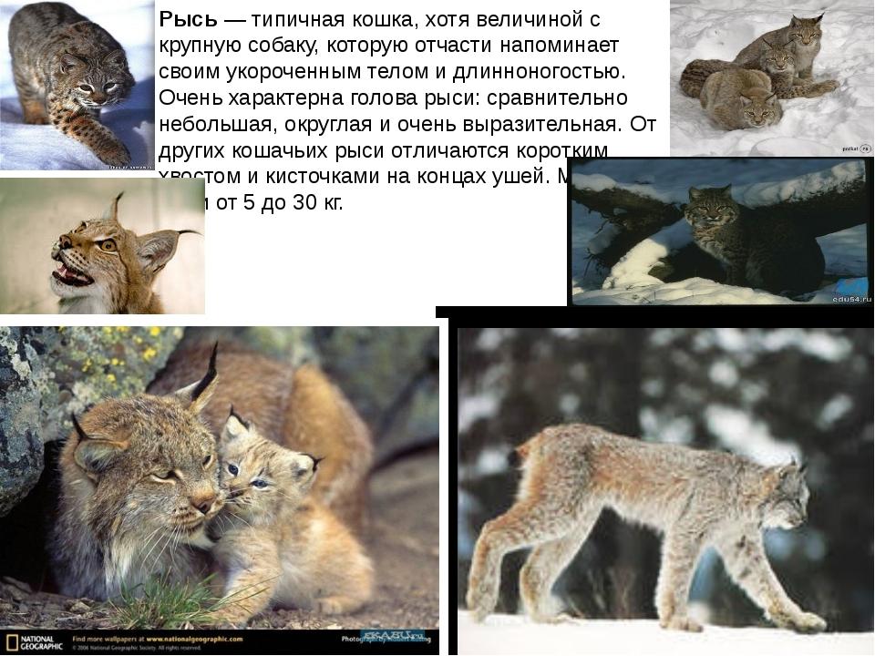 Рысь — типичная кошка, хотя величиной с крупную собаку, которую отчасти напом...