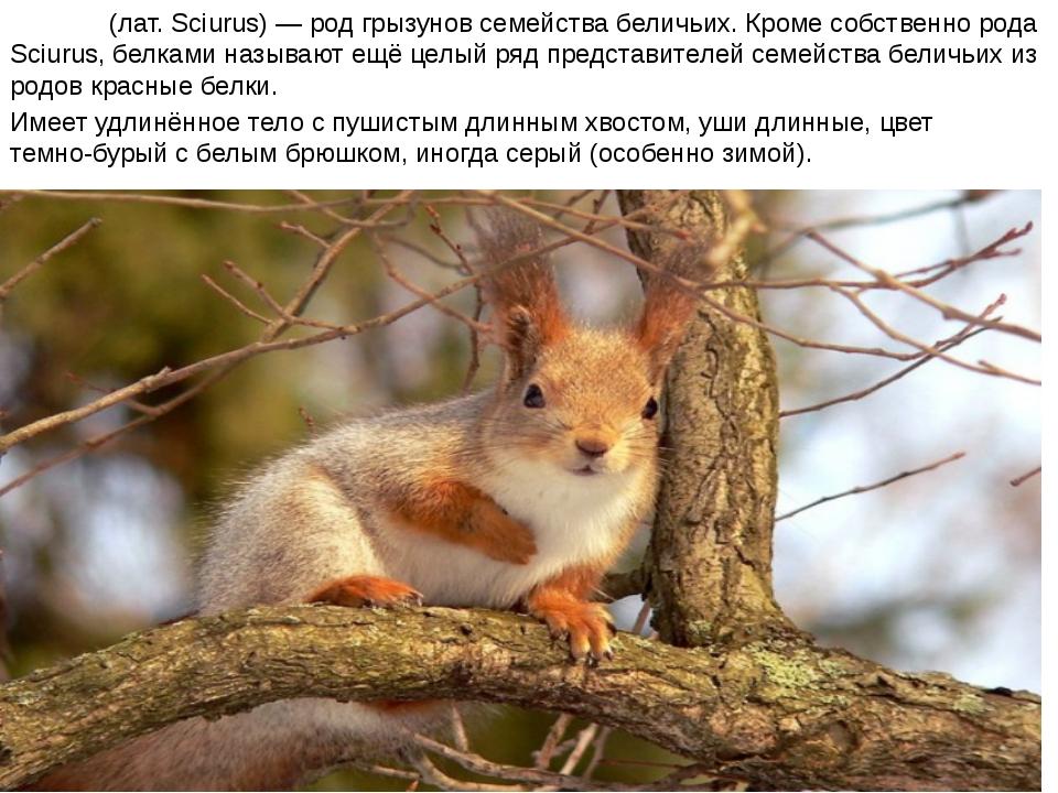 Бе́лки (лат. Sciurus) — род грызунов семейства беличьих. Кроме собственно род...