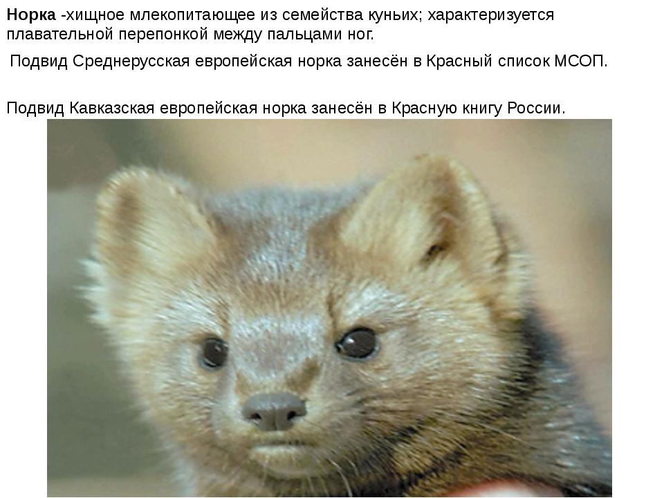 Норка -хищное млекопитающее из семейства куньих; характеризуется плавательной...