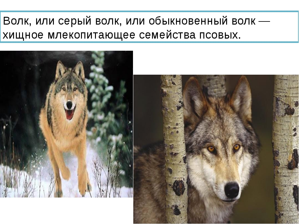 Волк, или серый волк, или обыкновенный волк — хищное млекопитающее семейства...
