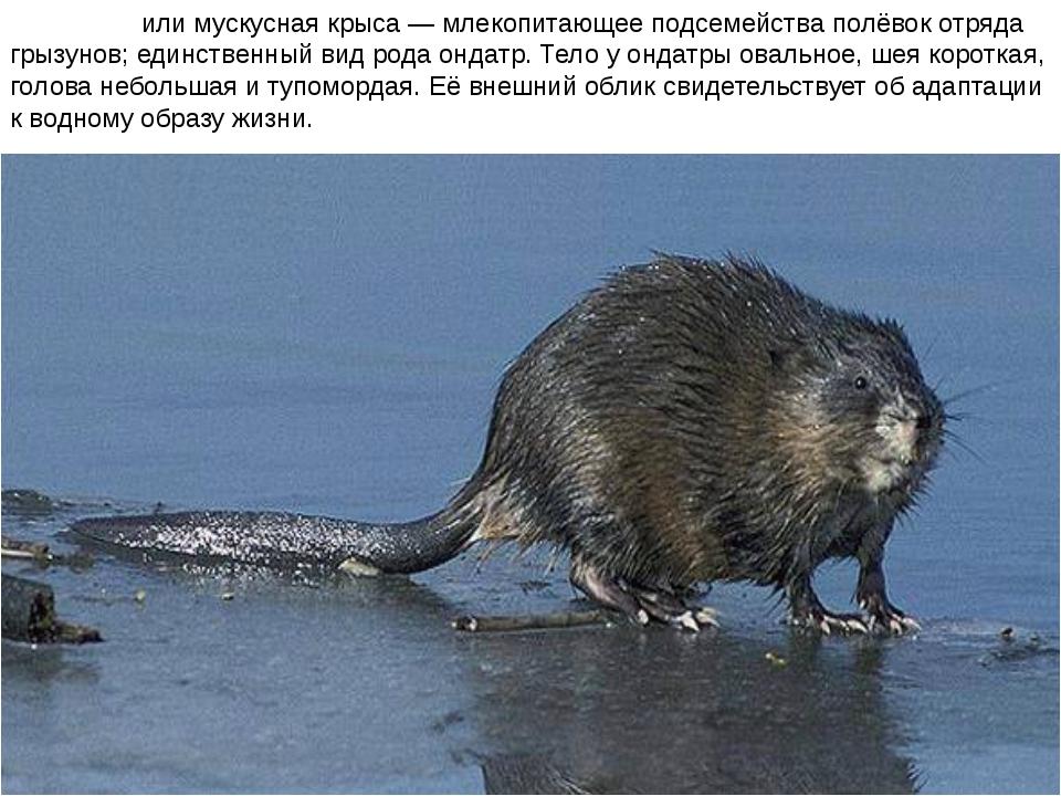 Онда́тра или мускусная крыса — млекопитающее подсемейства полёвок отряда грыз...