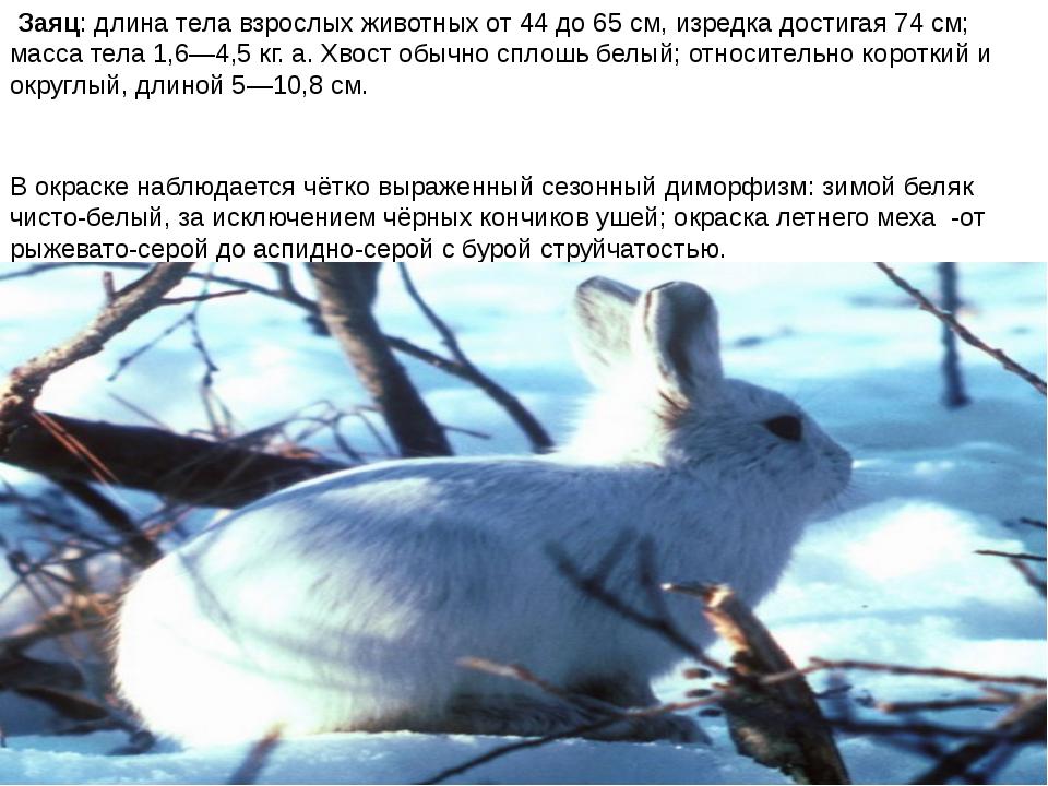 Заяц: длина тела взрослых животных от 44 до 65 см, изредка достигая 74 см; м...