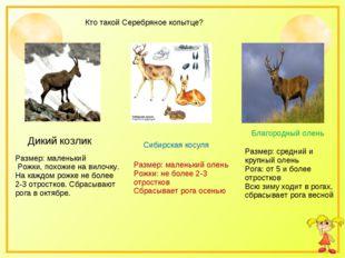 Кто такой Серебряное копытце? Сибирская косуля Благородный олень Размер: сред