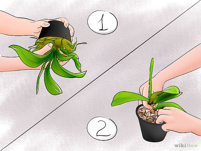 Care for Orchids Step 10 Version 2.jpg