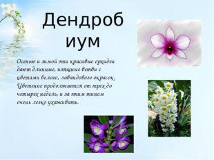 Дендробиум Осенью и зимой эти красивые орхидеи дают длинные, изящные ветви с