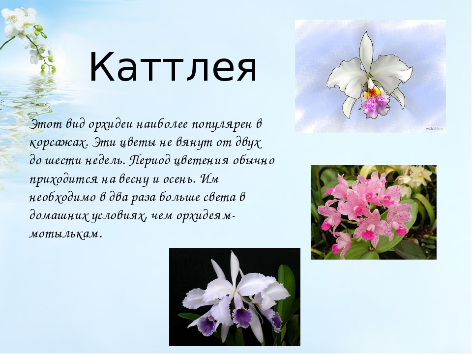 Каттлея Этот вид орхидеи наиболее популярен в корсажах. Эти цветы не вянут о...