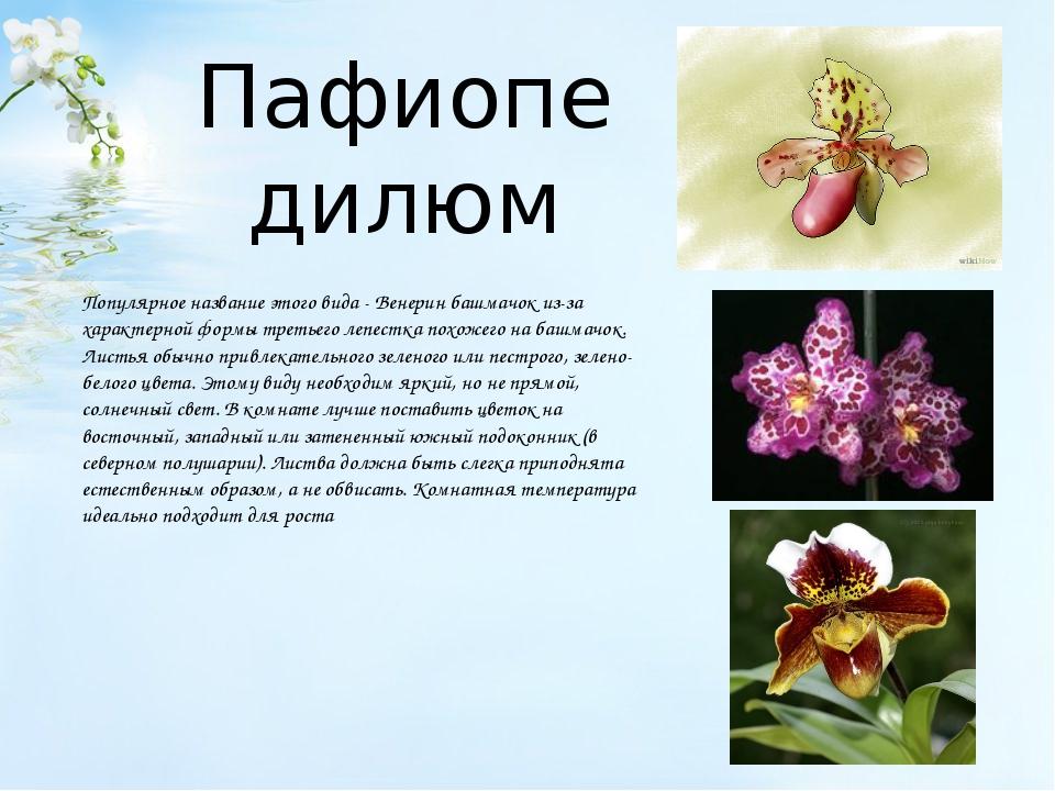 Пафиопедилюм Популярное название этого вида - Венерин башмачок из-за характе...