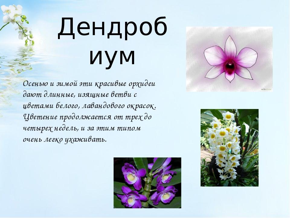 Дендробиум Осенью и зимой эти красивые орхидеи дают длинные, изящные ветви с...