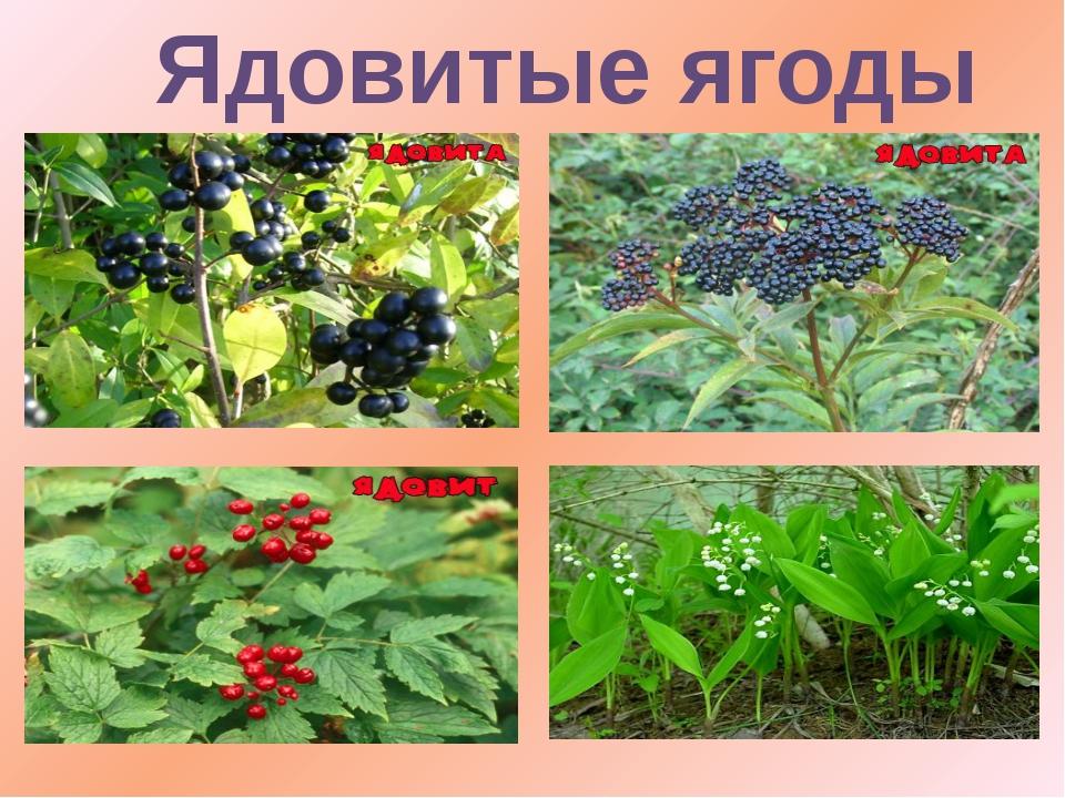 Картинки ядовитые растения для детского сада