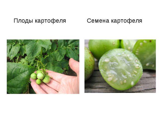 Плоды картофеля Семена картофеля