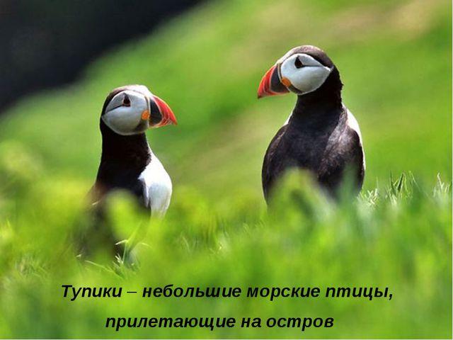 Тупики – небольшие морские птицы, прилетающие на остров