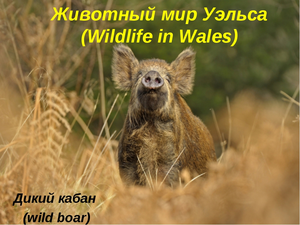 Животный мир Уэльса (Wildlife in Wales) Дикий кабан (wild boar)