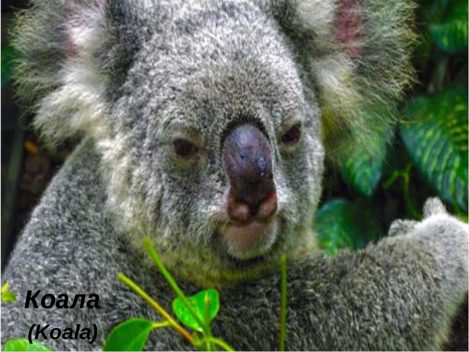 Коала (Koala)