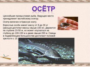 Ценнейшая промысловая рыба. Ведущее место принадлежит каспийскому осетру. Осе