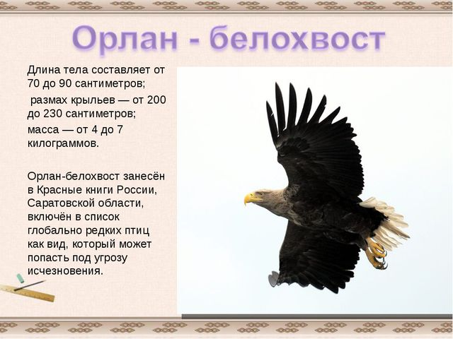 Длина тела составляет от 70 до 90 сантиметров; размах крыльев— от 200 до 230...