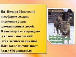 На Печоро-Илычской лосеферме создано племенное стадо одомашненных лосей. В з