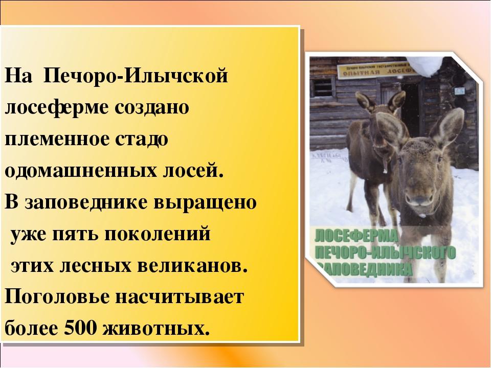 На Печоро-Илычской лосеферме создано племенное стадо одомашненных лосей. В з...