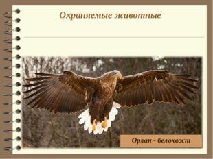 Охраняемые животные Орлан - белохвост