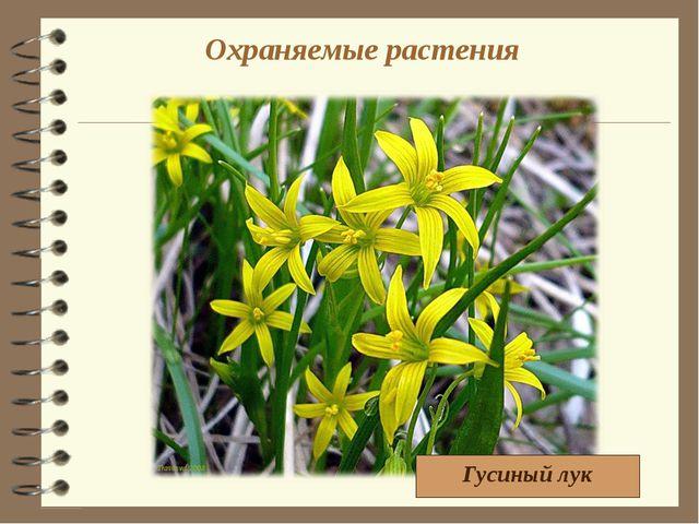 Охраняемые растения Гусиный лук