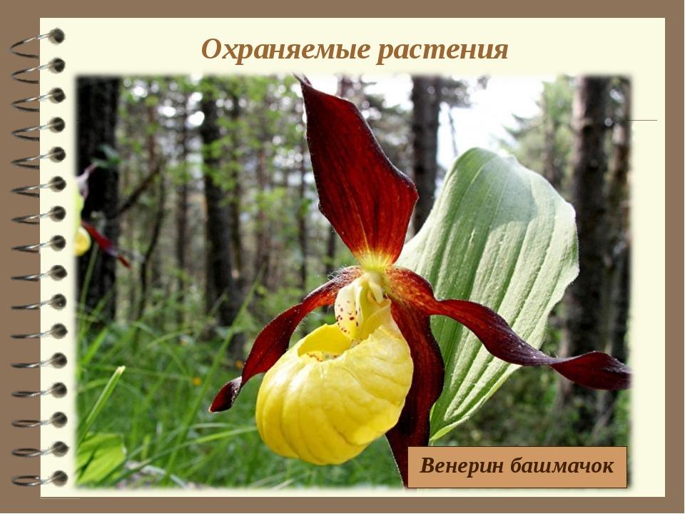 Охраняемые растения Венерин башмачок