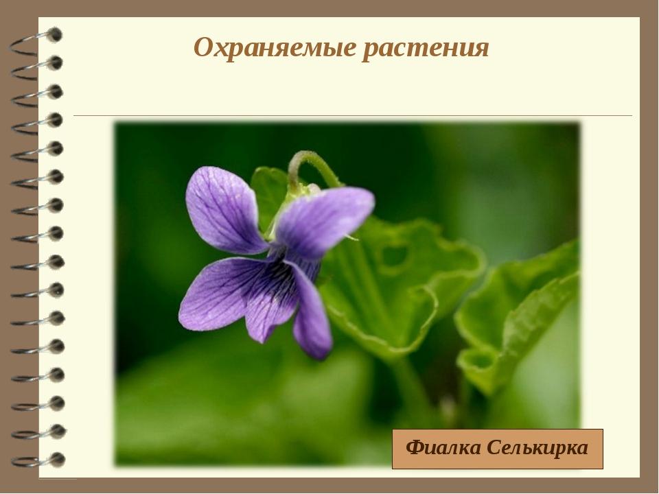 Охраняемые растения Фиалка Селькирка