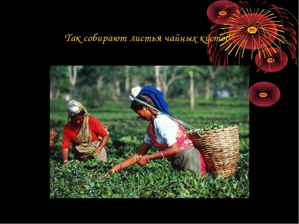 Так собирают листья чайных кустов