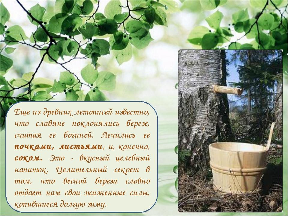 Еще из древних летописей известно, что славяне поклонялись березе, считая ее...