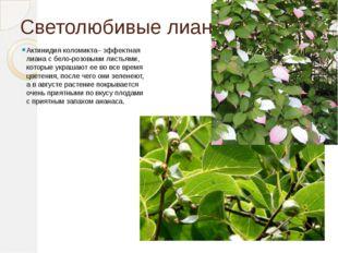 Светолюбивые лианы. Актинидия коломикта– эффектная лиана с бело-розовыми лист