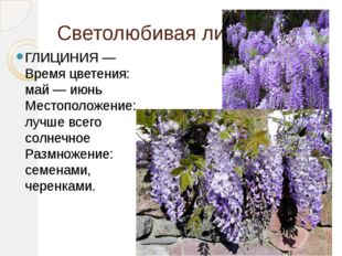 Светолюбивая лиана ГЛИЦИНИЯ —Время цветения: май — июнь Местоположение: лучше