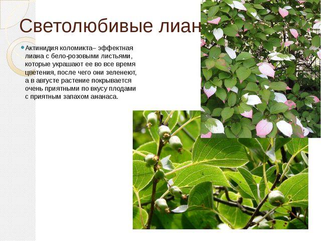 Светолюбивые лианы. Актинидия коломикта– эффектная лиана с бело-розовыми лист...