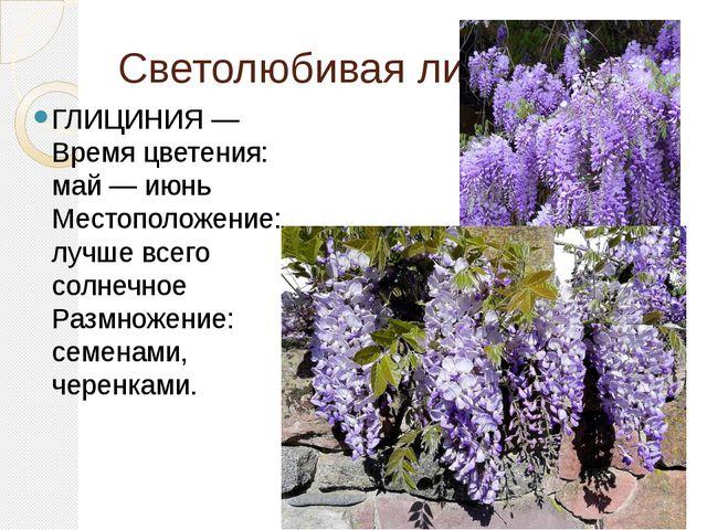 Светолюбивая лиана ГЛИЦИНИЯ —Время цветения: май — июнь Местоположение: лучше...