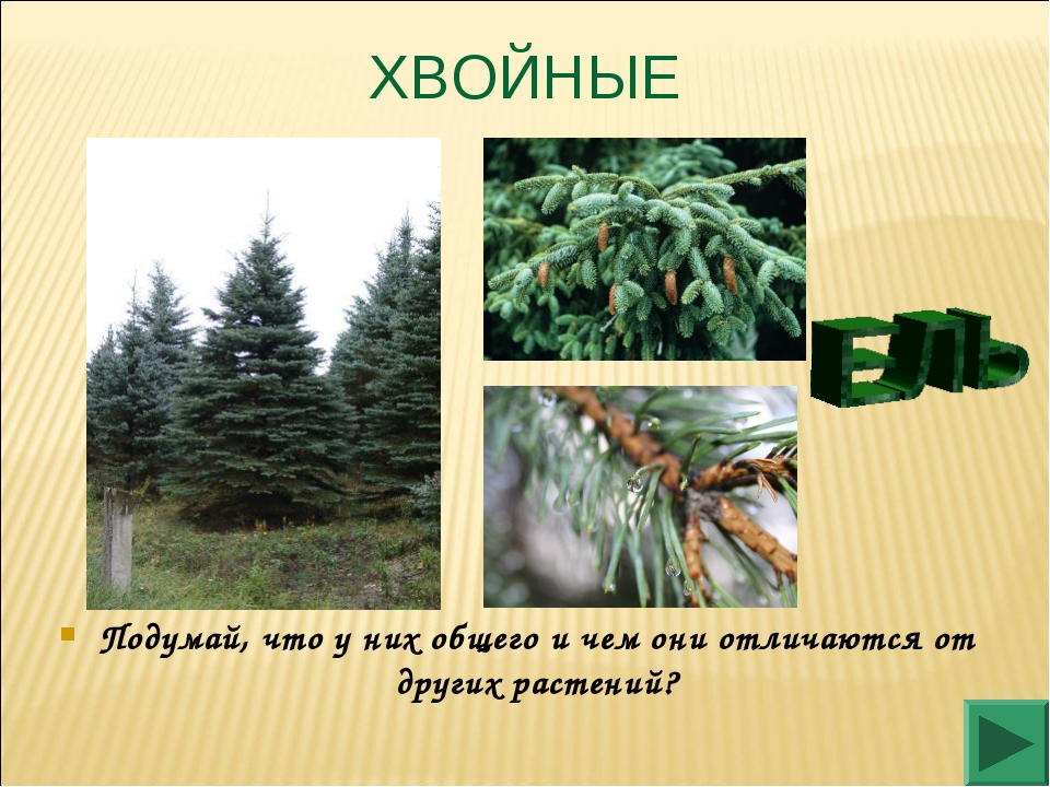 ХВОЙНЫЕ Подумай, что у них общего и чем они отличаются от других растений?