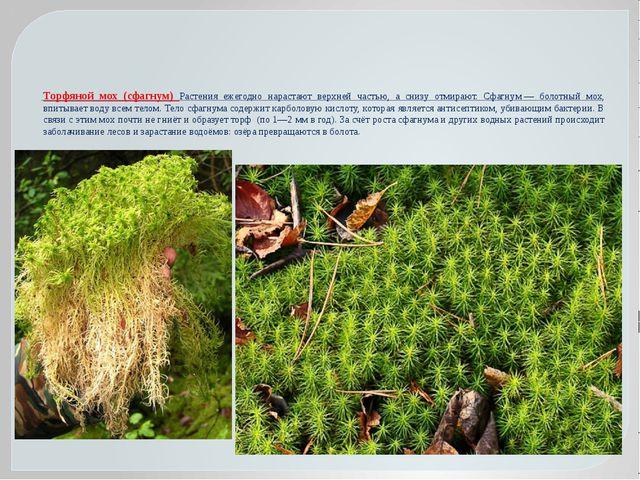 Торфяной мох (сфагнум) Растения ежегодно нарастают верхней частью, а снизу от...