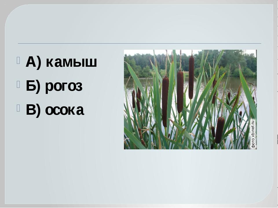 А) камыш Б) рогоз В) осока