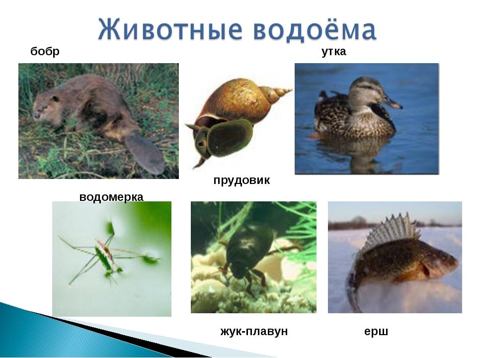 прудовик бобр утка водомерка жук-плавун ерш