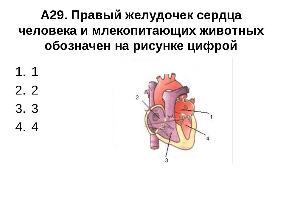А29. Правый желудочек сердца человека и млекопитающих животных обозначен на р...